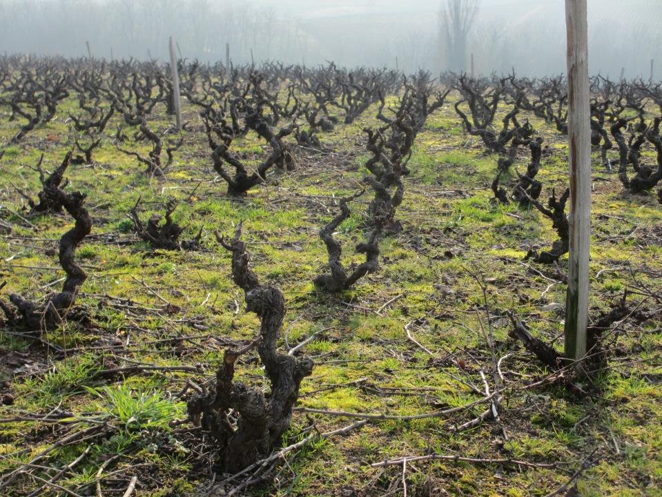 vignes à Chénas (lieu-dit Les Brureaux)