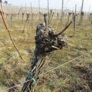 serait-ce une vigne ?