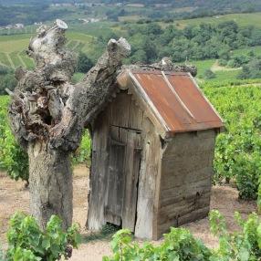 dans le vignoble, entre Fleurie et Juliénas